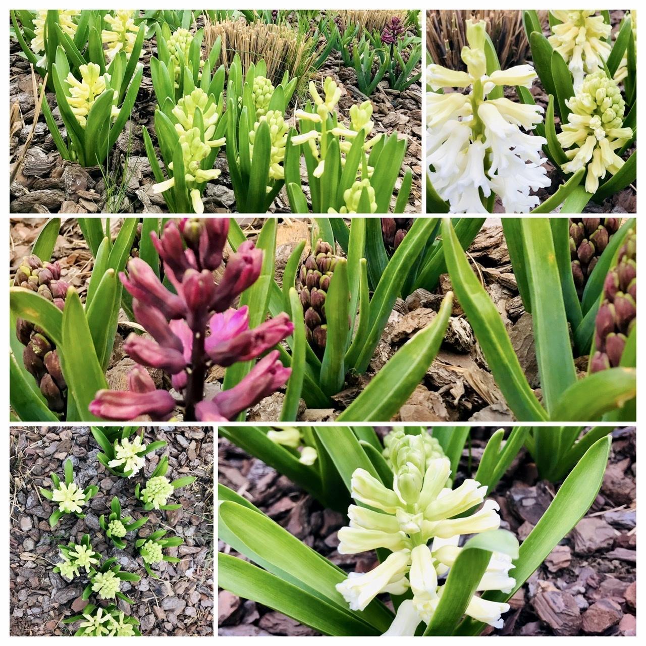 Naše L-ko - 2021 - stále dokončujeme - v predzahrádke - začínajú kvitnú biela a cyklamenové hyaciny. 5 metrový záhon kde striedaju ostrihanu ozdobnicu čínsku