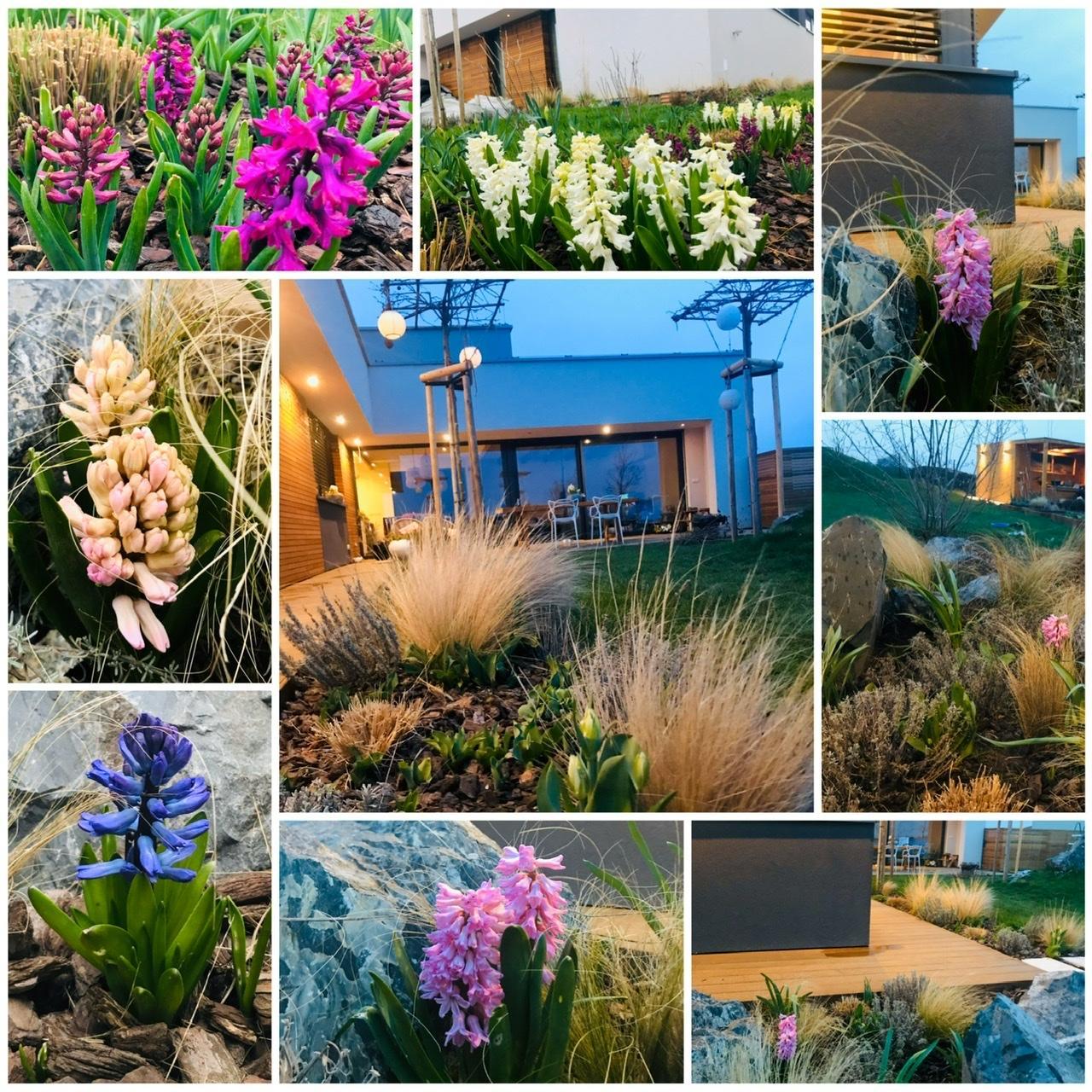 Naše L-ko - 2021 - stále dokončujeme - Obdobie hyacintov na záhrade