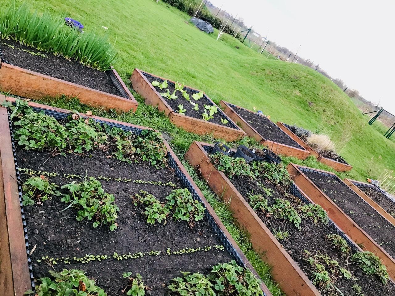Naše L-ko - 2021 - stále dokončujeme - Záhradka - zvýšené záhony. Jar všetko prebúdza, rastie mladý hrach, reďkovky, petržlen, mrkva, cibulka. Pred 14 dňami šli do zeme prve planty šalátov