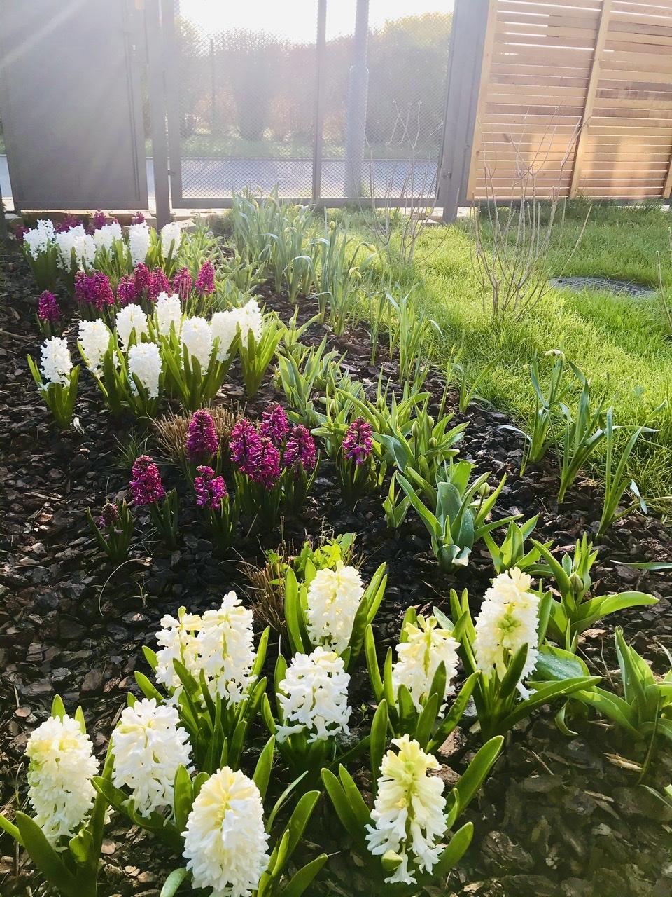 Naše L-ko - 2021 - stále dokončujeme - Záhon s jarnými kvietkami v predzahrádke - naplno kvitnú hyacinty, a chystajú sa v pukoch  tulipány a narcisy