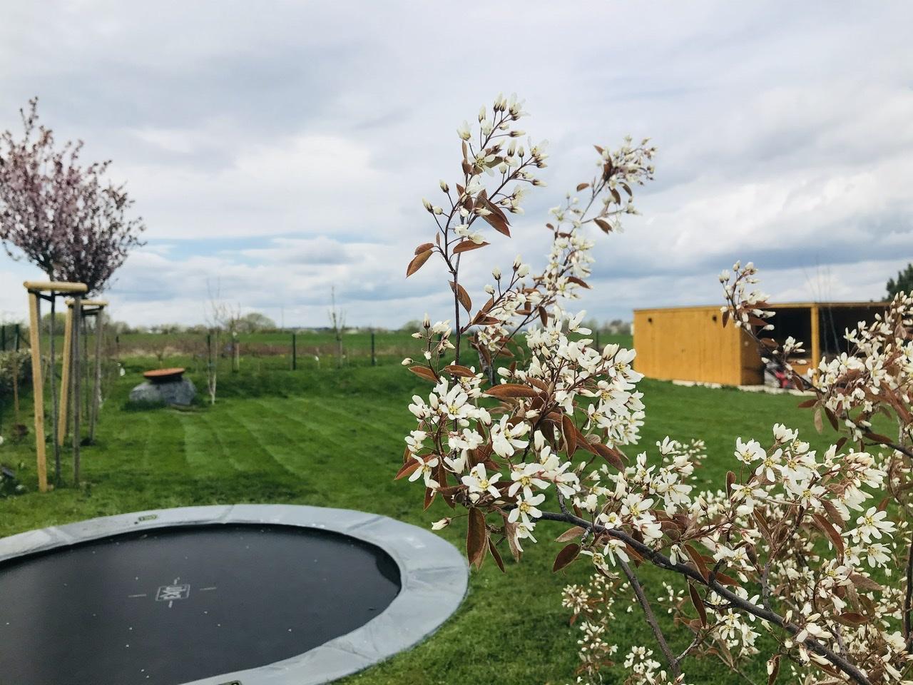 Naše L-ko - 2021 - stále dokončujeme - Zapustená trampolína a minulý rok sadené 2 nové mladé muchovníky