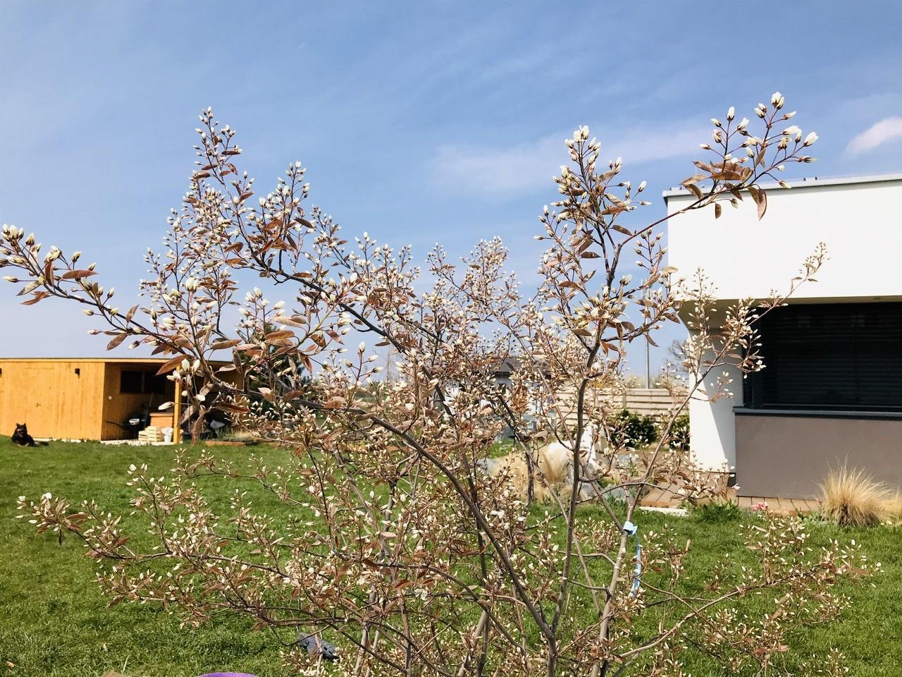 Naše L-ko - 2021 - stále dokončujeme - Minulý rok sadené 2 nové mladé muchovníky - začínajú u nás prvý krát kvitnúť.