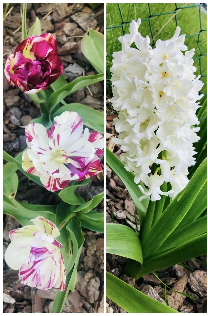 Naše L-ko - 2021 - stále dokončujeme - Predzahrádka, biele a cyklamenové kvety