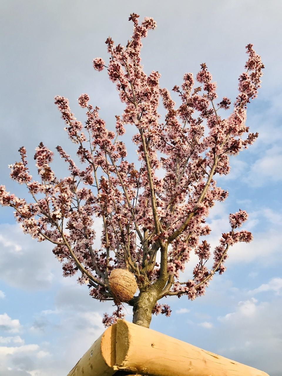 Naše L-ko - 2021 - stále dokončujeme - 3 ružovo kvitnúce mladé stromky