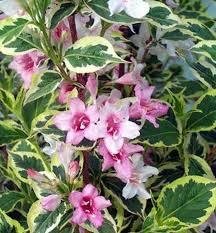 vajgela ružová - Obrázok č. 1