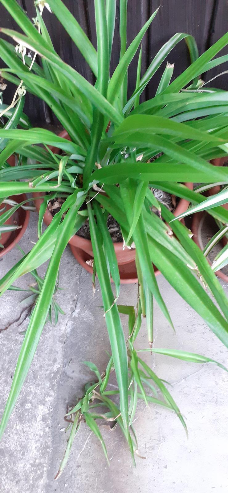 zelenec chochlatý - Obrázok č. 1