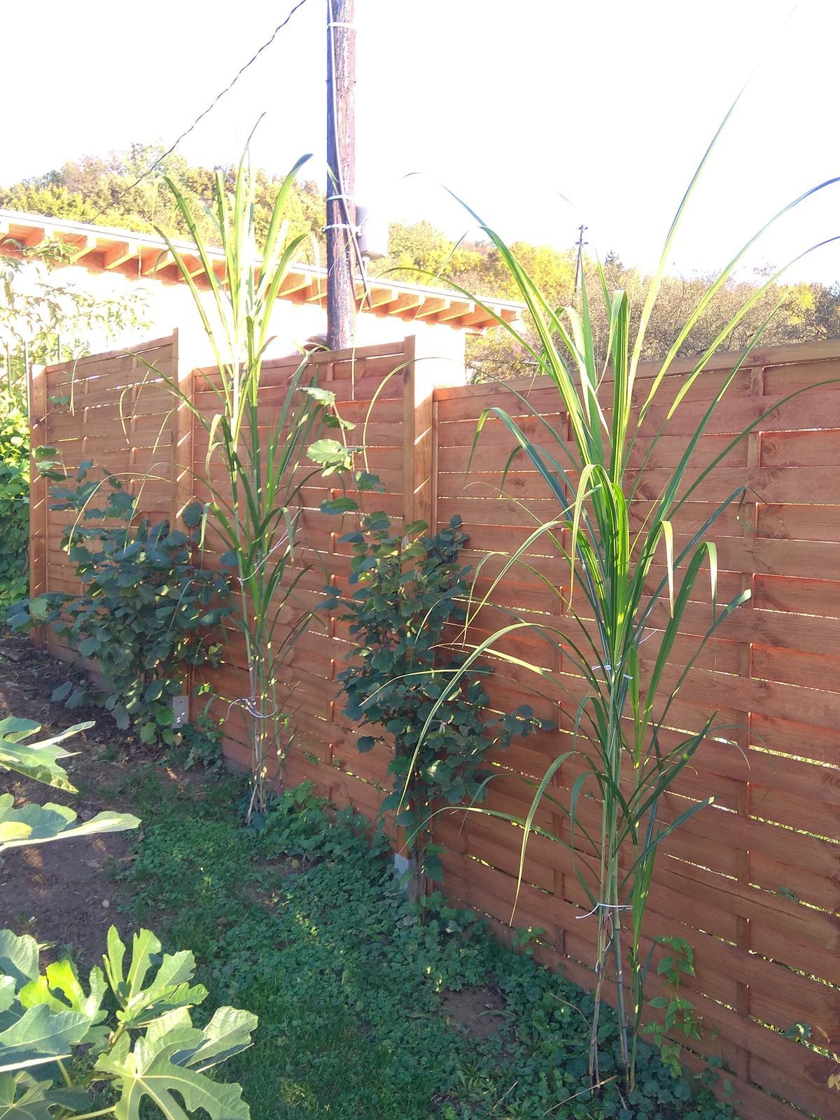 Mrazuvzdorná vysoká tráva - výška až do 5 m - Obrázok č. 1