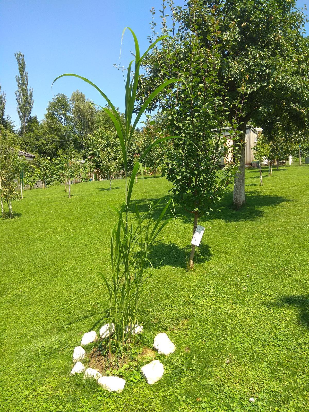 Mrazuvzdorná vysoká tráva - výška až do 5 m - Obrázok č. 2