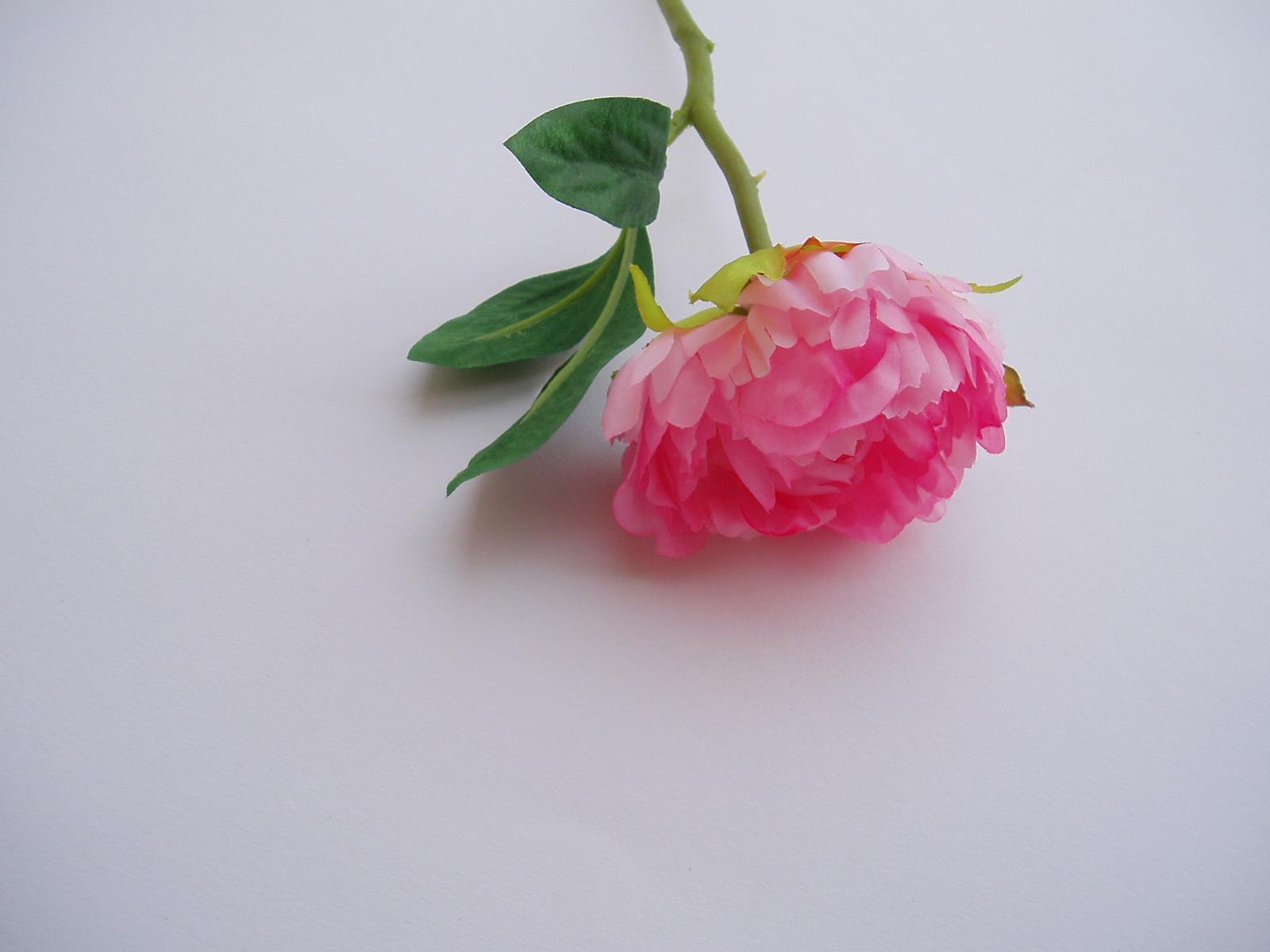 květ pivońky-růžový - Obrázek č. 1