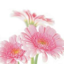 asi taketo ružové, krasné