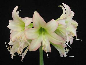 nebo tahle amaryllis - není nádherná?