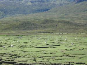 a ovce....taky na Skye