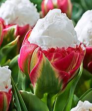 nový druh tulipánu - Ice cream tulip - nádhera k sežrání :-)
