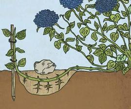... jak jednoduše množit hortenzii...