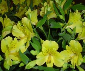 Katalóg kvetov - Alstroemeria