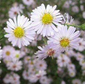 Katalóg kvetov - Astra