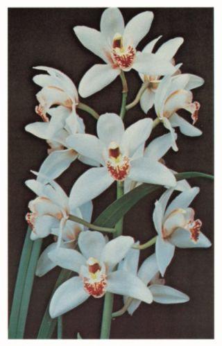 Katalóg kvetov - Cymbidium