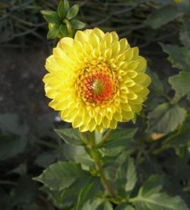 Katalóg kvetov - Dália