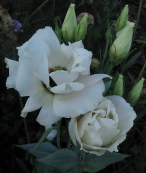 Katalóg kvetov - Eustoma