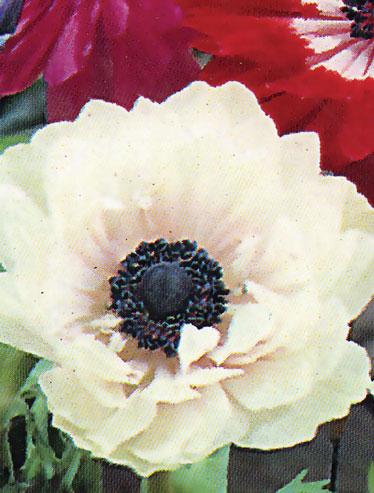Katalóg kvetov - Anemone