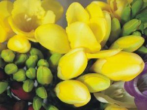Katalóg kvetov - Frézia