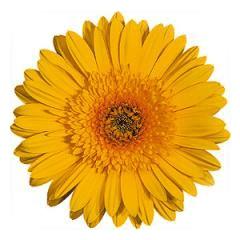 Katalóg kvetov - Gerbera