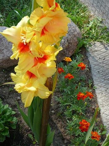 Katalóg kvetov - Gladiola