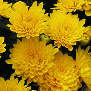 Katalóg kvetov - Chryzantéma
