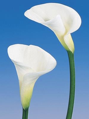 Katalóg kvetov - Kala