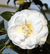 Katalóg kvetov - Kamélia