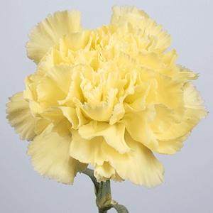Katalóg kvetov - Karafiát