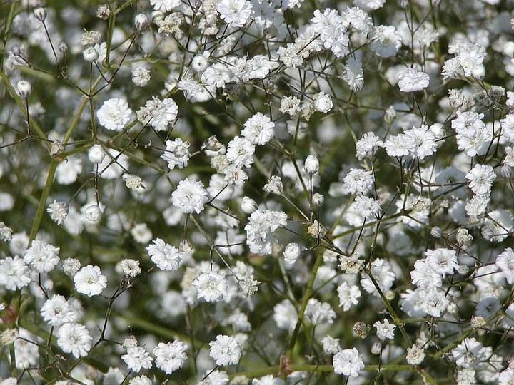 Katalóg kvetov - Gypsomilka