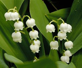 Katalóg kvetov - Konvalinka
