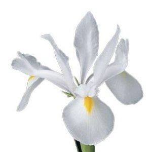 Katalóg kvetov - Iris