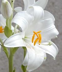Katalóg kvetov - Ľalia