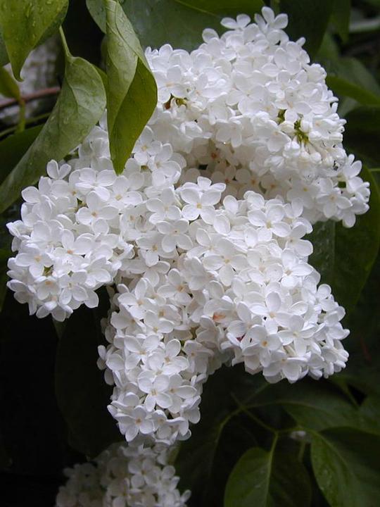 Katalóg kvetov - Orgován