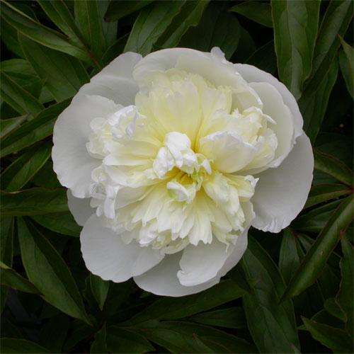 Katalóg kvetov - Pivónia