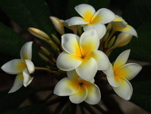 Katalóg kvetov - Pluméria