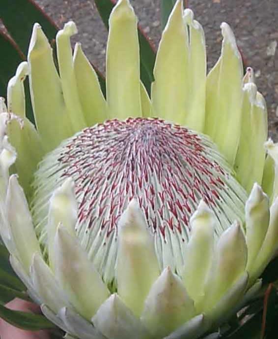 Katalóg kvetov - Protea