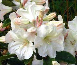 Katalóg kvetov - Rhododendron