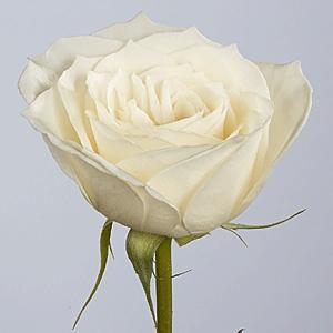 Katalóg kvetov - Ruža