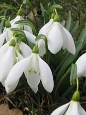 Katalóg kvetov - Snežienka