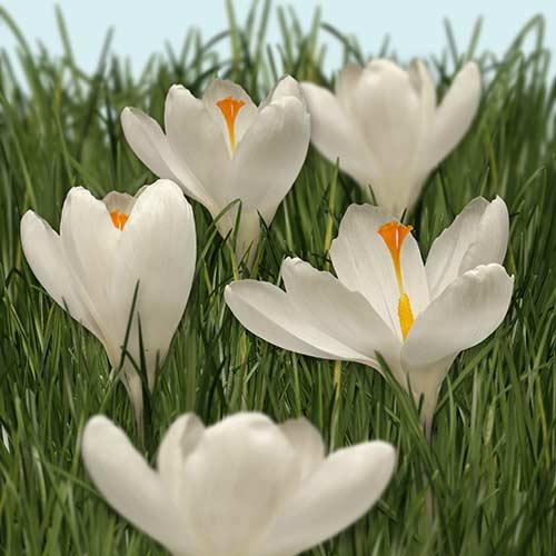Katalóg kvetov - Šafrán - Krokus
