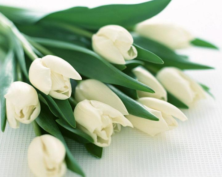 Katalóg kvetov - Tulipán