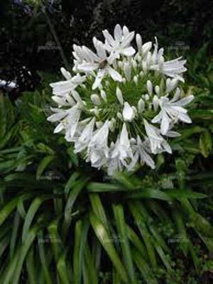 Katalóg kvetov - Agapant