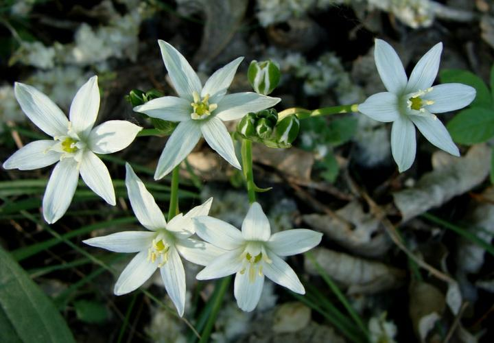 Katalóg kvetov - Bledavka