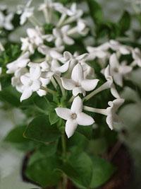 Katalóg kvetov - Buvardia