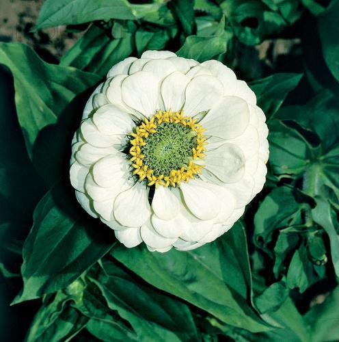 Katalóg kvetov - Cínia