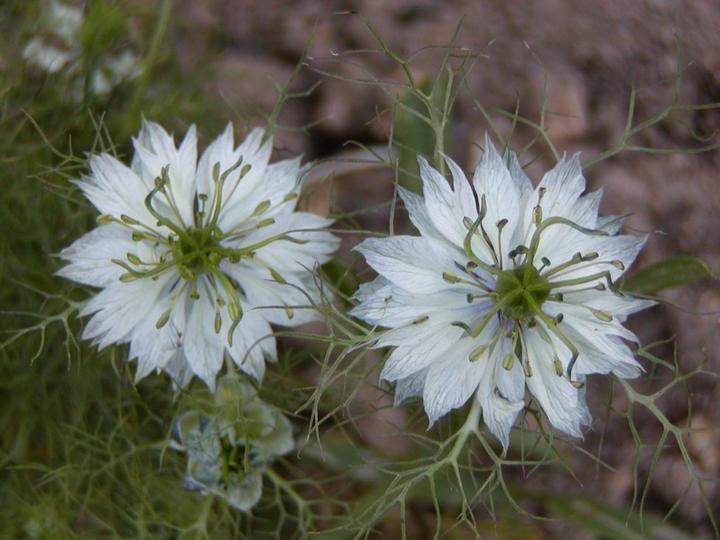 Katalóg kvetov - Černuška