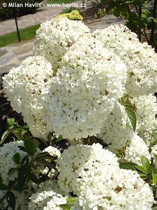 Katalóg kvetov - Kalina